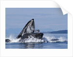 Group Feeding Humpback Whales, Alaska by Corbis