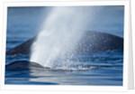 Spouting Humpback Whale, Alaska by Corbis
