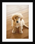 Golden Retriever puppy by Corbis