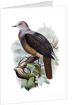 Barking Imperial Pigeon by Corbis