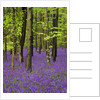 Bluebells (hyacinthoides non-scriptus) in a beech wood (fagus sylvatica), West Stoke, West Sussex, England, UK, Europe by Corbis
