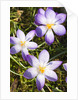 Crocus flowers by Corbis
