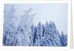 Winter landscape with snow covered birches and spruces by Corbis