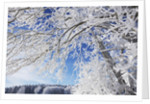 Snow-covered tree by Corbis