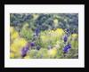 Blue lupine (lupinus pilosus) by Corbis