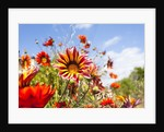 Gazania flowers by Corbis