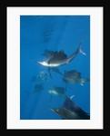 Atlantic Sailfish (Istiophorus albicans) hunting Sardines, Isla Mujeres, Yucatan Peninsula, Caribbean Sea, Mexico. by Corbis