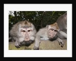 Crab-eating Macaque or Long-tailed Macaque (Macaca fascicularis), Bali, Indonesia by Corbis