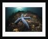 Blue Starfish on a Coral Reef (Linckia laevigata), Alam Batu, Bali, Indonesia by Corbis