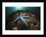Blue Starfish on a Coral Reef (Linckia laevigata), Alam Batu, Bali, Indonesia by Corbis