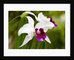 Cattleya orchid in Hawaii by Corbis