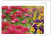 Daisy (bellis perennis) and pansies in meadow by Corbis