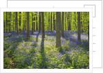 Beech forest (fagus sylvatica) with bluebells by Corbis