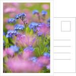 Forget-me-not (myosotis) in meadow by Corbis