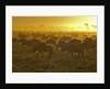 Herd of wildebeest at sunrise by Corbis
