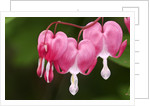 Bleeding heart flowers in garden, Lively, Ontario, Canada by Corbis