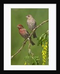 Male and female House finches (Carpodacus mexicanus) on plum blossoms at Victoria, Vancouver Island, British Columbia, Canada by Corbis