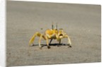 Ghost crab (Ocypode cursor), Skeleton Coast National Park, Namibia. by Corbis