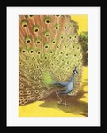 Peacock showing tail feathers by Corbis