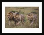 Three Male Lions on the Serengeti Plains by Corbis