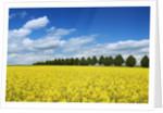 Rape field by Corbis