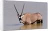 Gemsbok oryx (Oryx gazella gazella) by Corbis