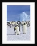 Emperor penguins (aptenodytes forsteri) by Corbis