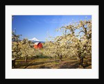 sunrise Mt.Hood and old red barn, Hood River Valley and apple blossoms, Hood River Oregon, Columbia by Corbis