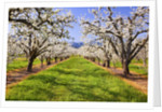 apple blossoms and Mt.Hood, Hood River, Oregon, Columbia River Gorge, Pacific Northwest. by Corbis