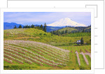apple blossoms and Mt.Adams, Hood River, Oregon, Columbia River Gorge, Pacific Northwest. by Corbis