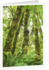 Moss-covered trees in North American rainforest by Corbis