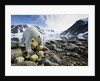 Polar Bear, Svalbard, Norway by Corbis