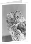Great gray owl strix nebulosa staring at camera by Corbis