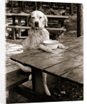1930s dog mixed breed sitting like human being at outdoor picnic table by Corbis