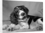 1950s springer spaniel lying down with head cocked & mouth open looking at camera by Corbis