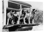 1930s 1939 english setter hunting dogs on tailgate of wood body station wagon automobile by Corbis