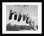 1950s mother cocker spaniel tending her 4 puppies hanging in socks on a laundry clothesline by Corbis