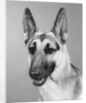1960s portrait of young alert german shepherd dog looking at camera by Corbis