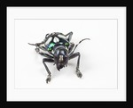 Head on view on long horned beetle Acronia alboplagiata by Corbis