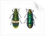 Top and Bottom view of Jewel beetle Demochroa gratiosa by Corbis