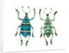 Top and Bottom view of Weevil Eupholus in the Curculionidae family by Corbis