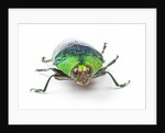 Head on view of Jewel Beetle Steraspis speciosa green by Corbis