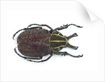 Large beetle from Mexico, Inca clathrata sommeri by Corbis