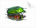 Asian flower beetle Rhomborrhina gigantea green reflecting underside mirror like. by Corbis