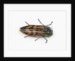 Small beetle Conognatha errata from Chile by Corbis