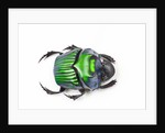 Green Dung Beetle Female Oxysternon conspicillatum as viewed from the top by Corbis