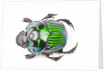 Green Dung Beetle male Oxysternon conspicillatum as viewed from the top by Corbis