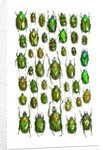 All Green Flower Beetles in design layout against white backdrop by Corbis