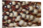Cabotsd Tragopan back feather design by Corbis