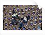 Starry night Butterfly Hamadryas arinome on Grey Peacock Pheasant wing feathers by Corbis